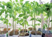 Пока теоретически.  Проще всего выращивать рассаду в теплице или парнике.  Но не у каждого они есть...